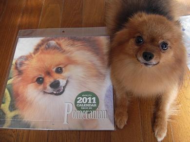 2011年 ポメラニアン カレンダー