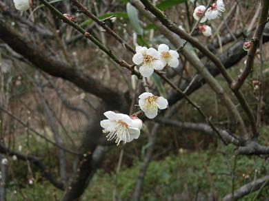 梅の花!?