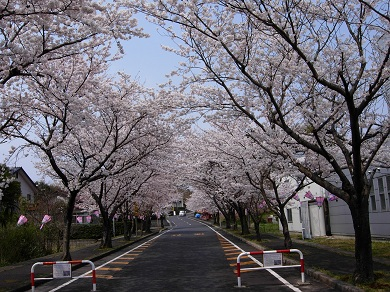 斐川公園桜並木