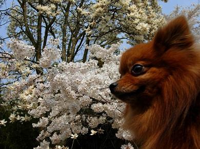 桜と白木蓮とりおん
