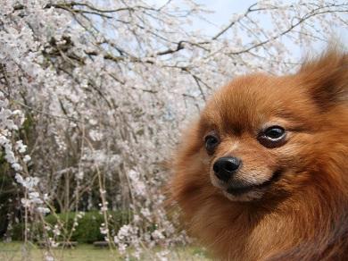 しだれ桜とりおん