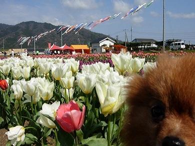 斐川チューリップ祭