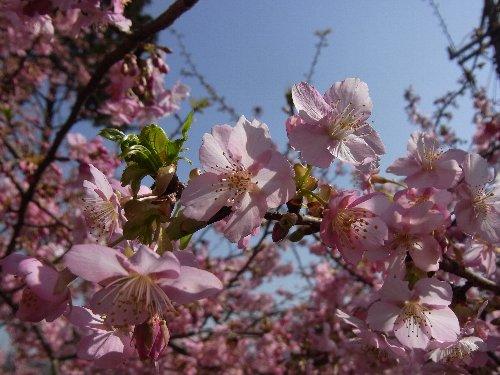 sakura_20110227143428.jpg