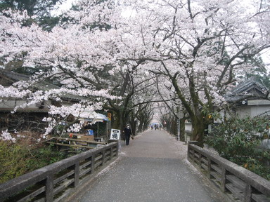 桜並木MG_0135