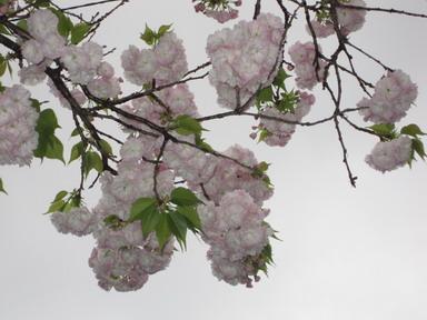 八重桜IMG_4003