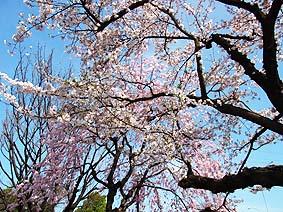 桜220120413