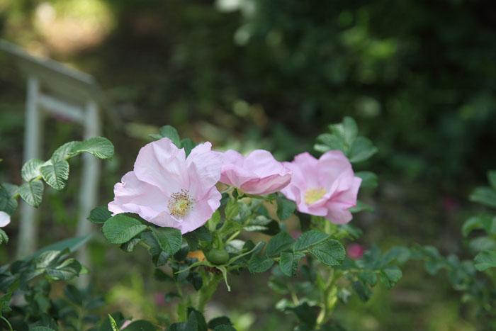 1205京成_ロサ・ルゴサ 野付ピンク