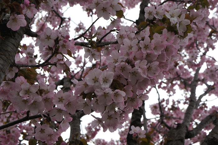 1205桜01