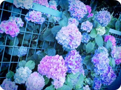 azisai1106.jpg