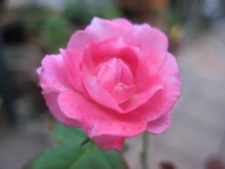 赤胆紅心の花
