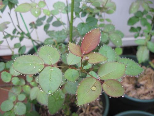 水玉を纏った葉