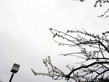 大倉山梅祭り