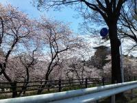 前橋 敷島 桜並木
