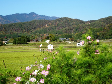 嵯峨野コスモス・遠望に愛宕山