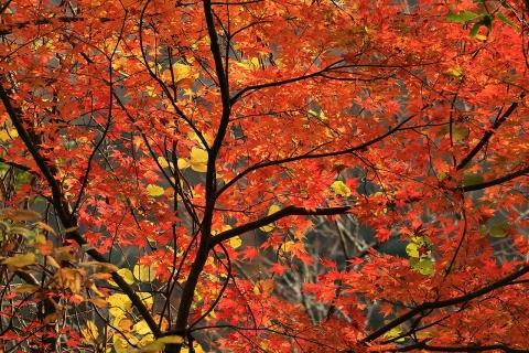 梅ヶ瀬渓谷の紅葉