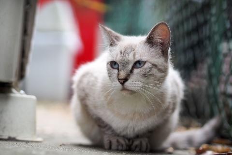 クリーム色の猫