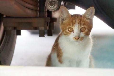 茶白の仔猫
