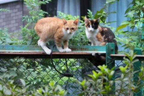 茶白と三毛猫