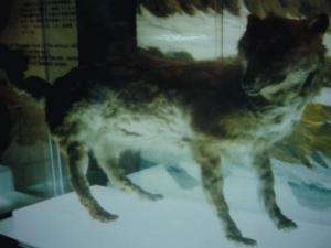 エゾオオカミ剥製・開拓記念館19840914_convert_20120813174900