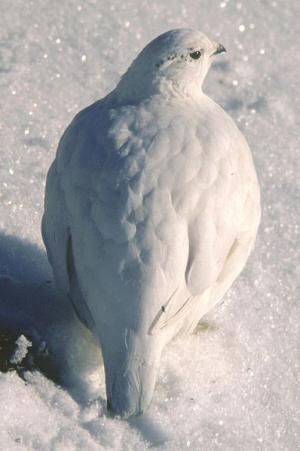 白い雷鳥_convert_20121115133230