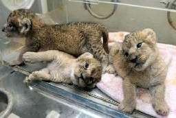 ライオンの三つ子