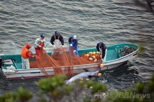 反捕鯨団体シー・シェパード(Sea Shepherd Conservation Society、SS)が撮影した和歌山県太地町でのイルカの追い込み漁で捕らえられたバンドウイルカ(2014年1月21日撮影)。(c)AFPSea Shepherd Conservation Society写真拡大