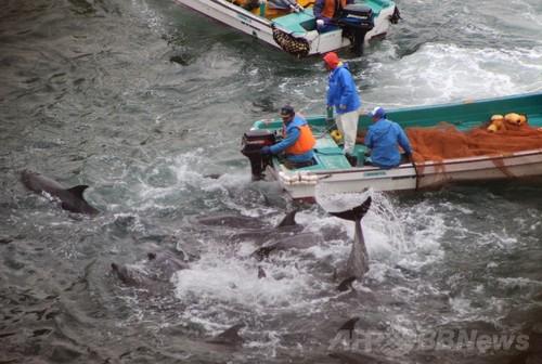 反捕鯨団体シー・シェパード(Sea Shepherd Conservation Society、SS)が撮影した和歌山県太地町でのイルカの追い込み漁で捕らえられるバンドウイルカ(2014年1月20日撮影)。(c)AFPSea Shepherd Conservation Society写真拡大