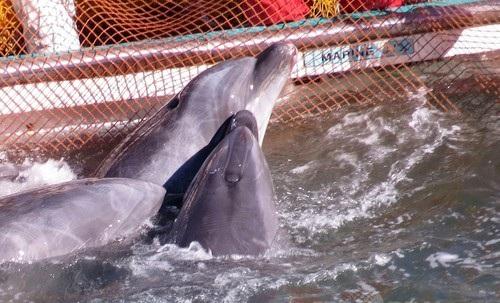 反捕鯨団体シー・シェパード(Sea Shepherd Conservation Society、SS)が撮影した和歌山県太地町でのイルカの追い込み漁で、追い込まれた入り江内の網の中で群れるバンドウイルカ(2014年1月19日撮影)。(c)AFPSea Shepherd Conservation Society写真拡大