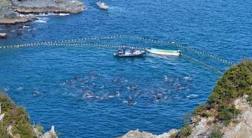 反捕鯨団体シー・シェパード(Sea Shepherd Conservation Society、SS)が撮影した和歌山県太地町でのイルカの追い込み漁で、入り江内に追い込まれたバンドウイルカの群れ(2014年1月17日撮影)。(c)AFPSea Shepherd Conservation Society写真拡大