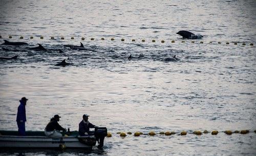 反捕鯨団体シー・シェパード(Sea Shepherd Conservation Society、SS)が撮影した和歌山県太地町でのイルカの追い込み漁の様子(2014年1月21日撮影)。(c)AFPSea Shepherd Conservation Society写真拡大