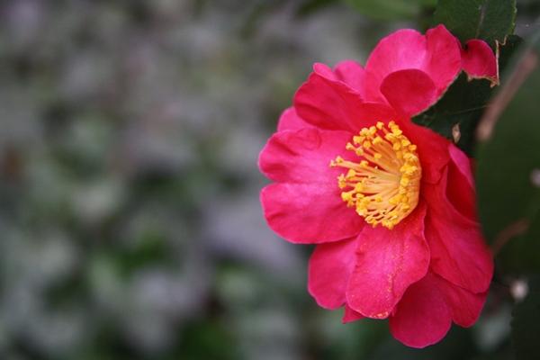 椿、もう咲いてたんだね。
