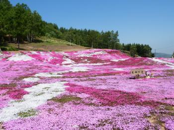 三島さん芝桜1
