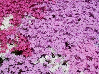 三島さん芝桜3
