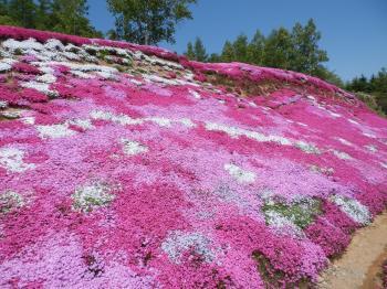 三島さん芝桜2