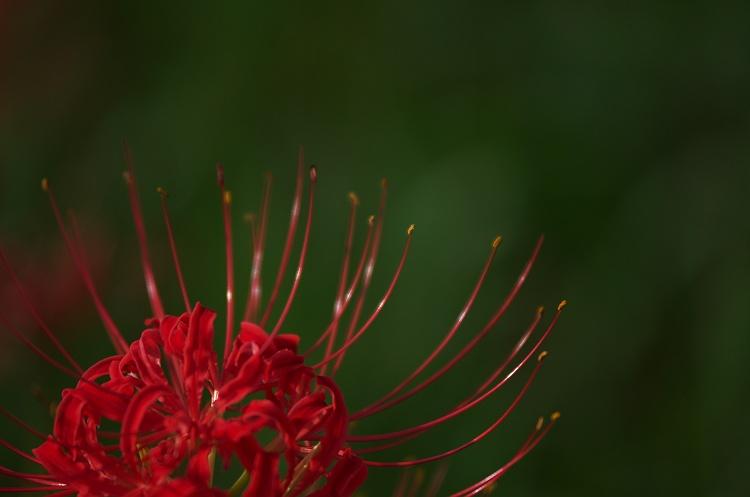 彼岸花の咲く頃 7