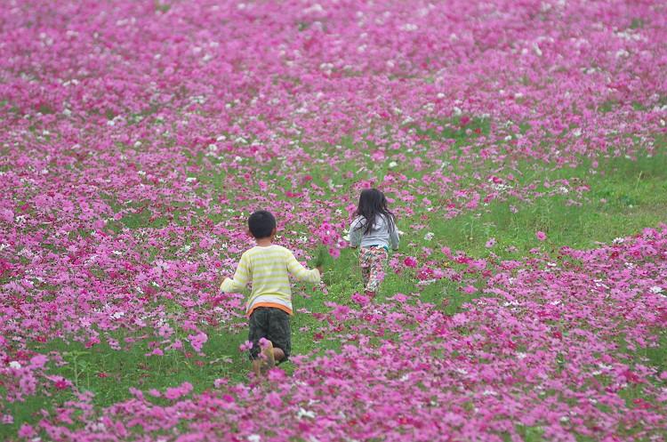 コスモスと秋ひまわりの咲く風景