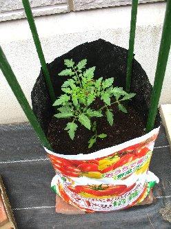 ミニトマトの栽培