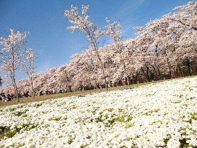 お花見「赤城南面 千本桜」