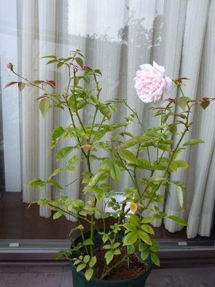 Cels Multiflora
