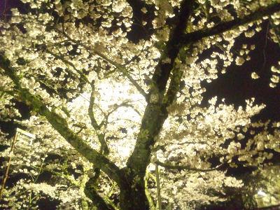 夜桜'11