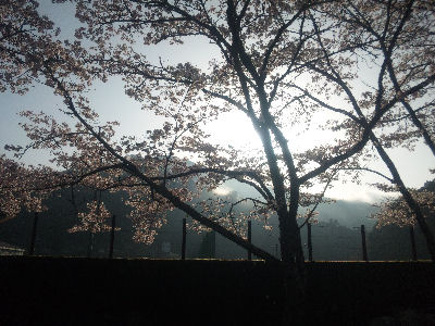 朝の桜'11