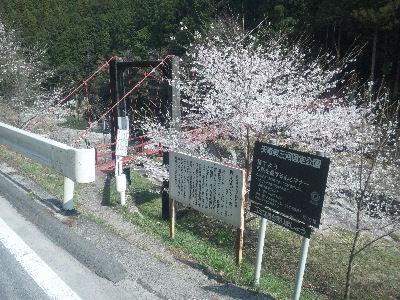 天竜の桜と渓谷'11