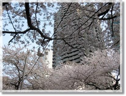 赤坂アークヒルズの桜