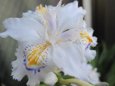 シャガの花♪