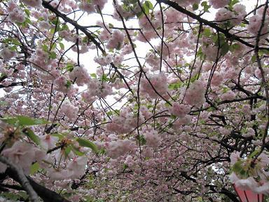桜のトンネルだ~(≧▽≦)♪