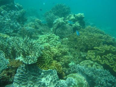 一面の珊瑚!