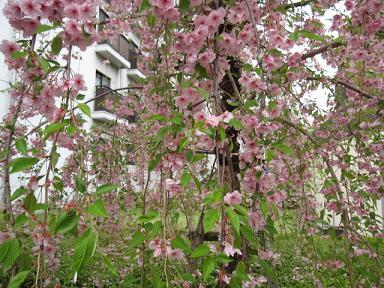 八重のしだれ桜!