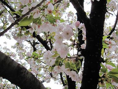 桜さくらサクラ♪