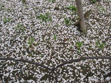 花びらのじゅうたん♪