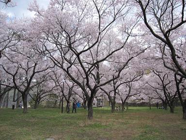 芝に桜は綺麗ねぇ(≧▽≦)♪